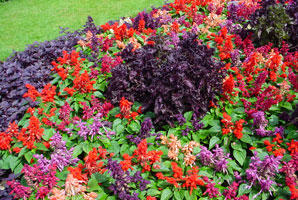 Feed-bedding-plants-#AE4BBA