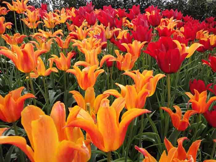 Tulips-create