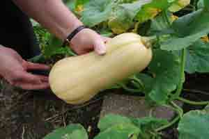 Harvesting-butternut-squash