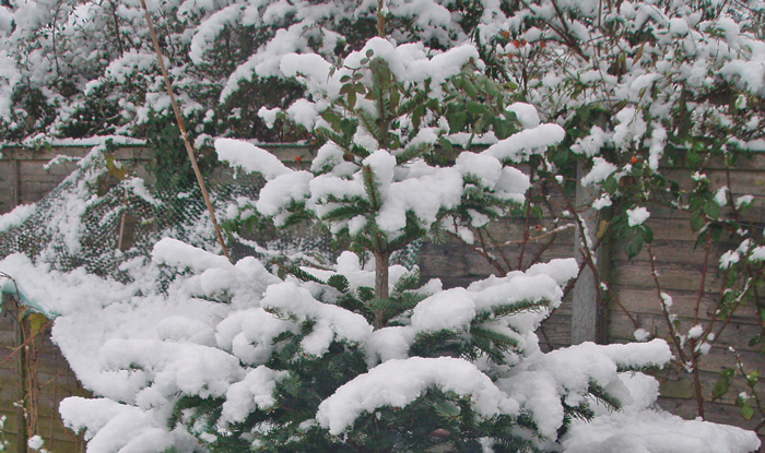Snow-On-Conifer-Branches