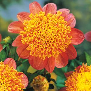 Dahlia-Honey
