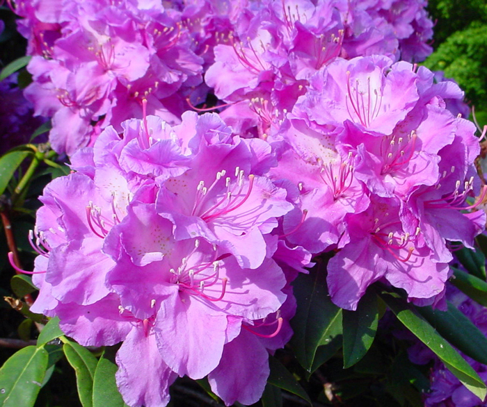 banner-Feed-rhododendrons-for-quality-blooms