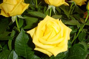 side-Rose-Golden-Weddding