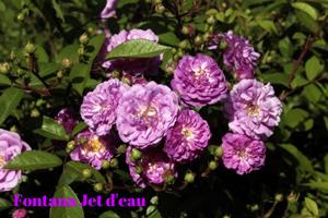 side-roses-54d