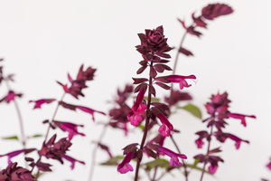 Salvia-'Love-and-Wishes'-2