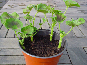 side-Take-pelargonium-cuttings-copy