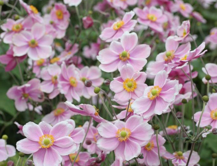 banner-Sep-_Credit-Farplants_Anemone-hupehensis-bed