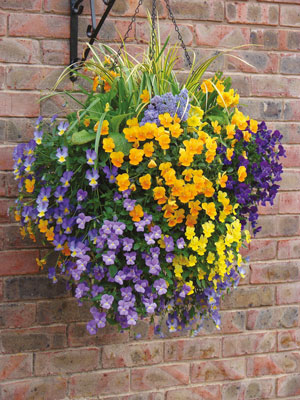 side-Pansy-hanging-basket