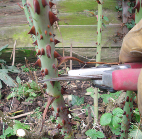 middle-Rose-Pruning-copy