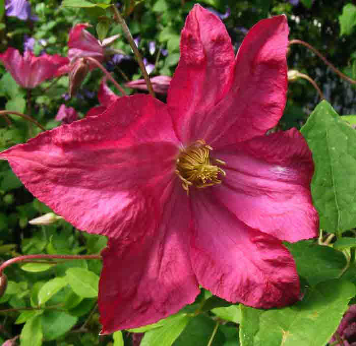 banner-clematis-charlie-brown