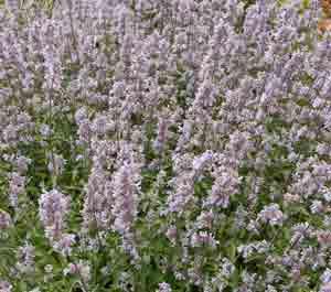 side-Nepeta-Crystal-Cloud-in-full-flower