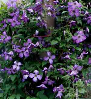 side-clematis-poldice
