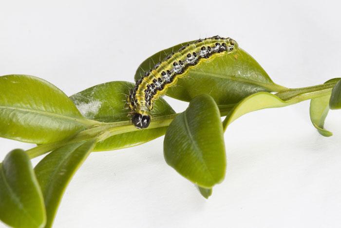banner-Caterpillar-of-the-box-tree-moth