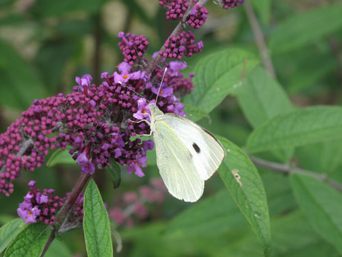 middle-Cabbage-White-Butterfly-on-Buddleja