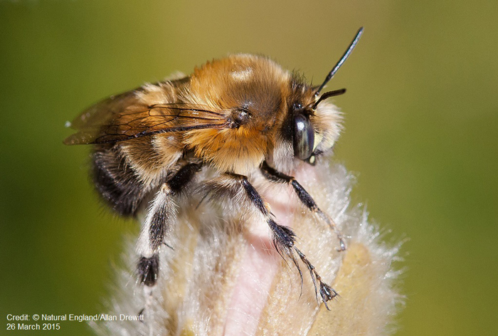 banner-Hairy-footed-bumblebee