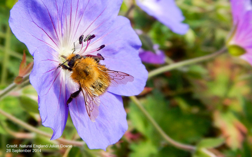 middle-Bee-on-flower