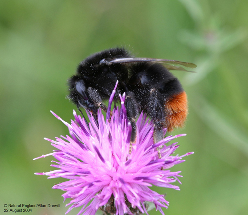 middle-Red-tailed-bumblebee