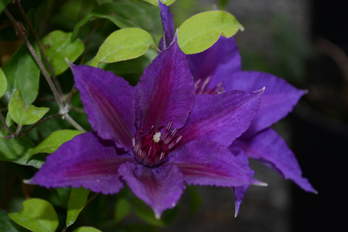 middle-clematis-waldrebe-edda