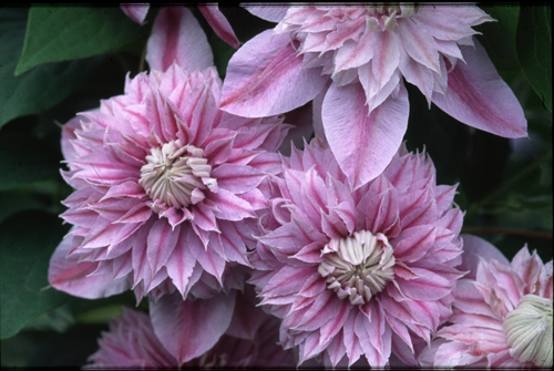 middle-clematis-waldrebe-josephine