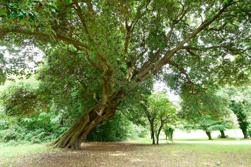 middle-the-holm-oak-rostrevor-photo-by-michael-cooper-low-resolution