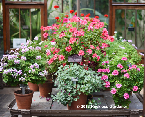 middle-geraniums-copy