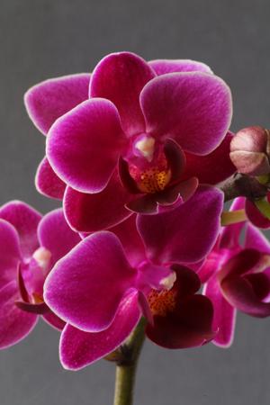 skde-phalaenopsis_purpleprincess_16-08-07-10-00-50